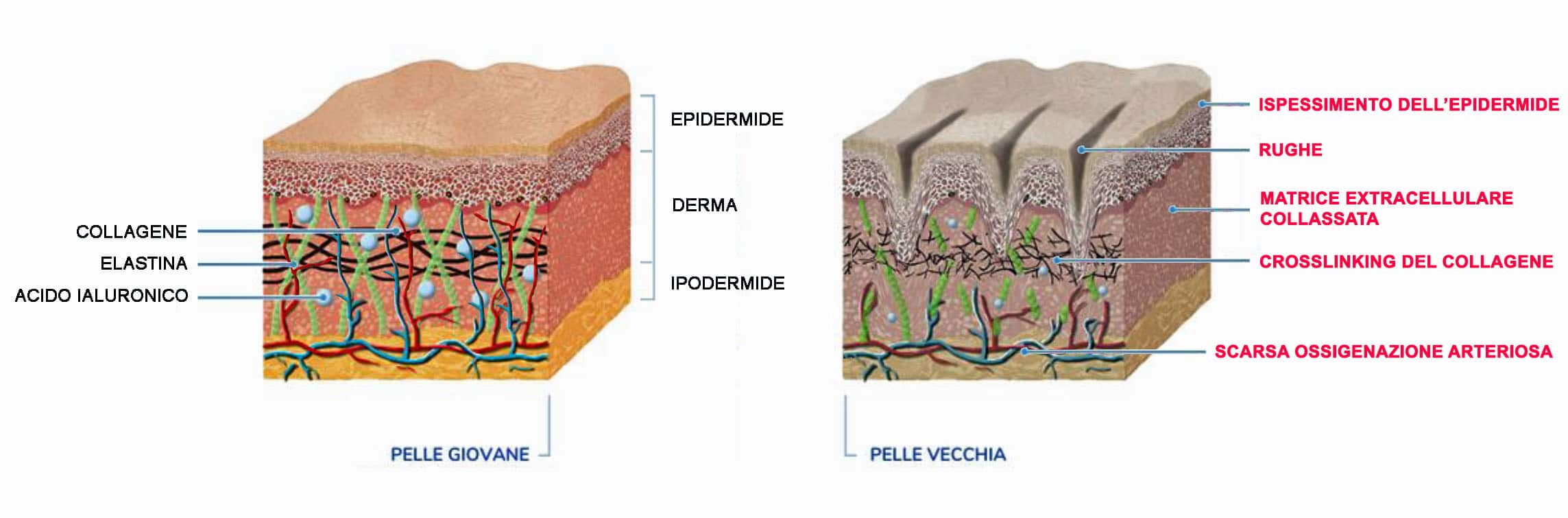 sezioni pelle